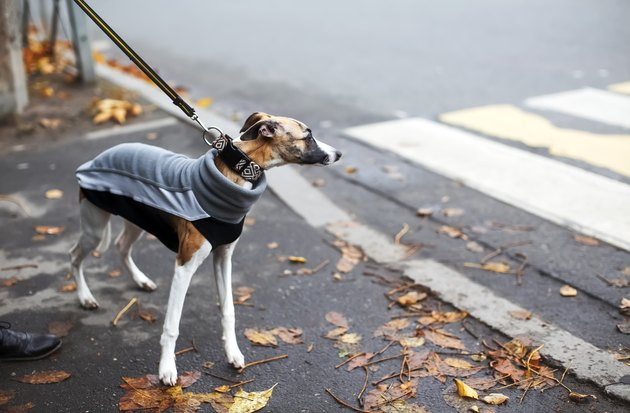 Cold season scene with cute thoughtful whippet puppy dressed in gray sport sweatshirt. Autumn melancholy concept, dull windy weather, city everyday life.