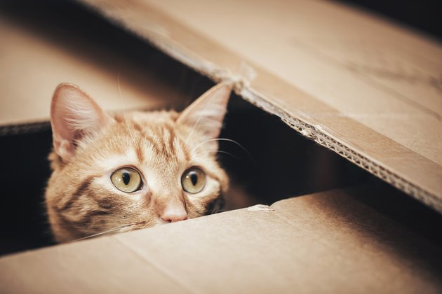 Ginger Cat in the Box