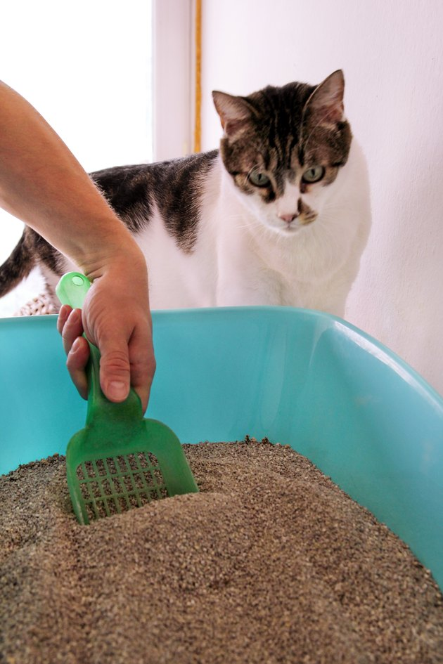 Cleaning cat litter box. Hand is cleaning of cat litter box with green spatula. Toilet cat cleaning sand cat. Man hand and cat litter box. A cat looking at her own poop in the blue litter box.