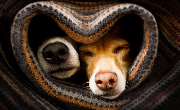 dogs under blanket together with noses sticking out