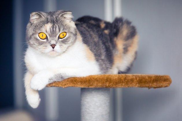 Cute scottish fold cat resting on a cat tree
