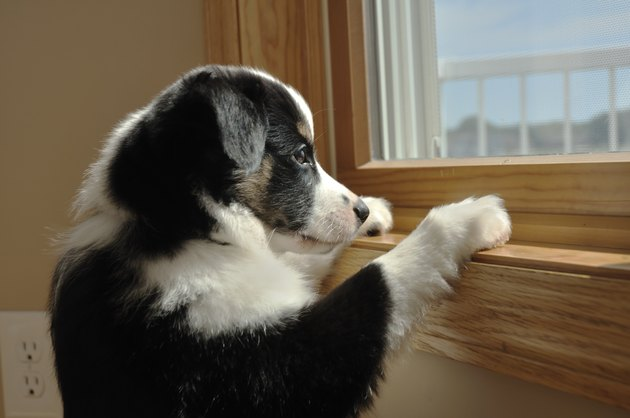 Australian Shepherd (Aussie) Puppy Watching