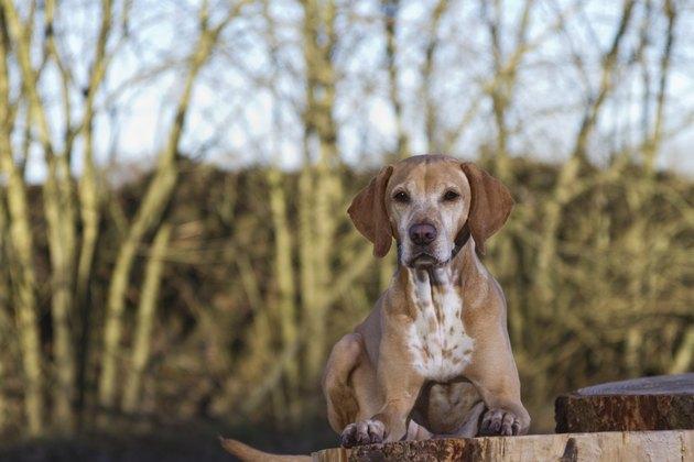 magyar Vizsla dog lying on a tree stump