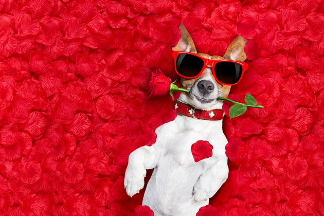 valentines dog in love surrounded by roses wearing sunglasses