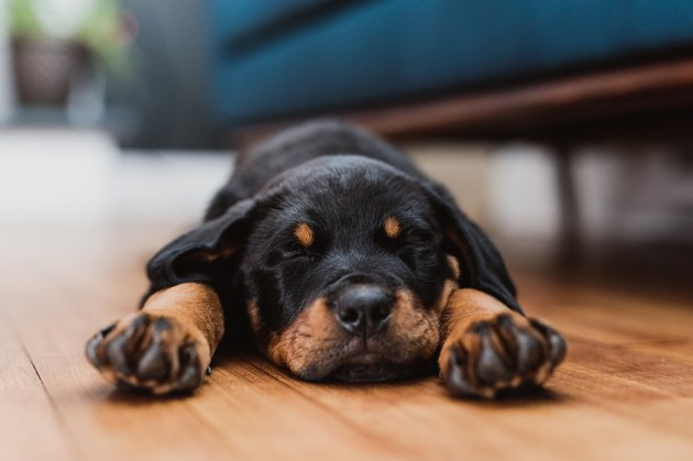 Rottweiler puppy sleeping in living room
