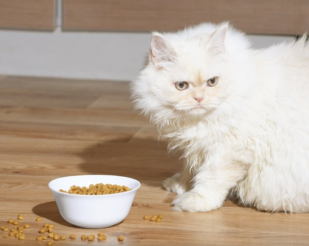 White Persian kitten sitting next to full bowl of dry food on a wooden floor.