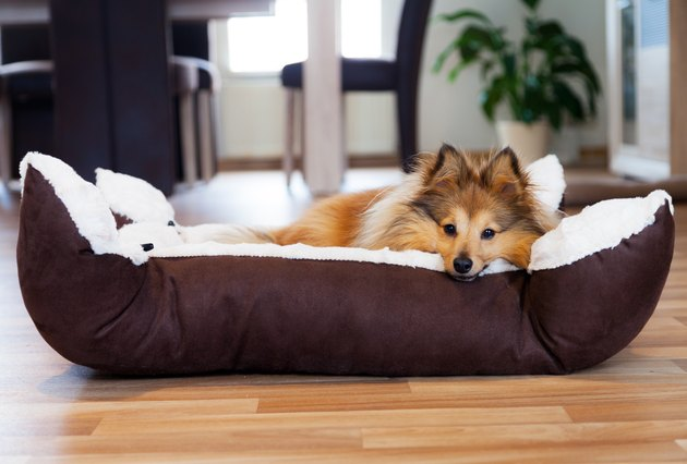 Sheltie dog in cozy dog bed