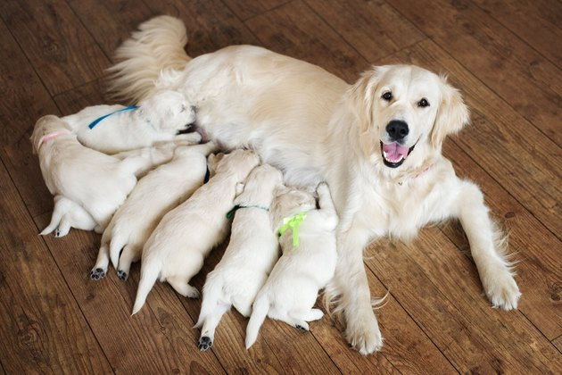 happy golden retriever dog with puppies