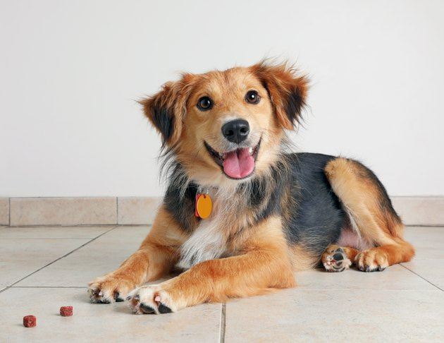 Australian Shepherd Dog hoping to be adopted