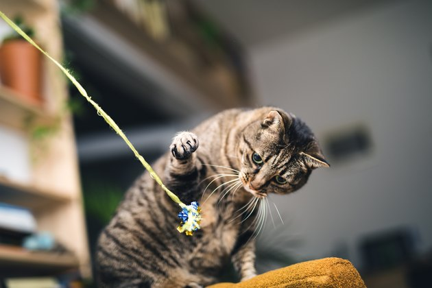 Playful Cat playing with toy