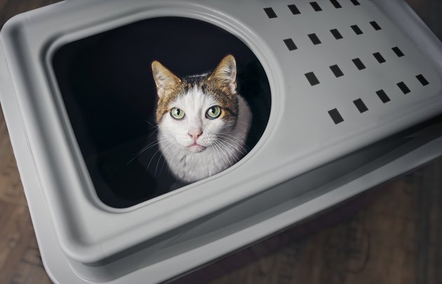 Tabby cat sitting in a top-entry litter box and looking curious up to the camera.
