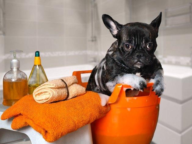 Funny dog wash in a basin, taking a bath
