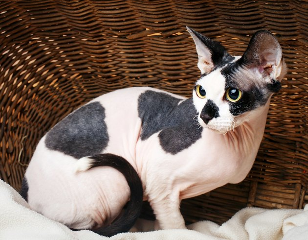 Sphynx Cats Inside a Wooden Basket Looking Up