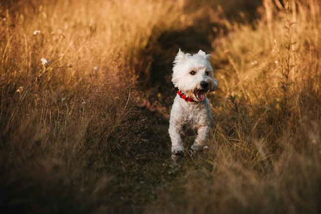 West terrier dog running in the field