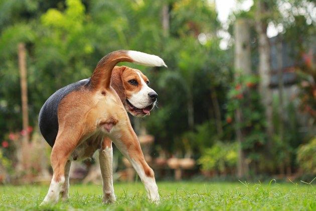 Beagle dog looking alert on estrus cycle