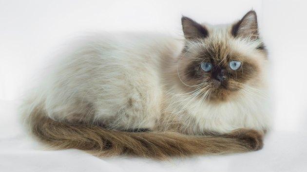 Seal Point гималайский кот, изолированных на белом