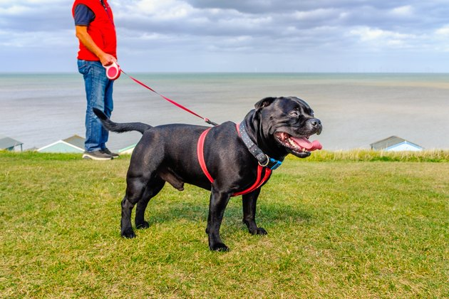 Strong healthy happy black Staffordshire Bull Terrier wearing a red harness on a long retractable leash on green grass in front of beach huts going for a walk at the seaside in Whtistable