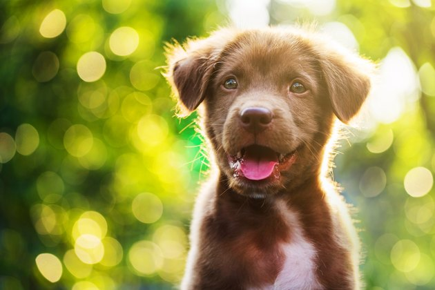 Portrait of brown cute Labrador retriever puppy