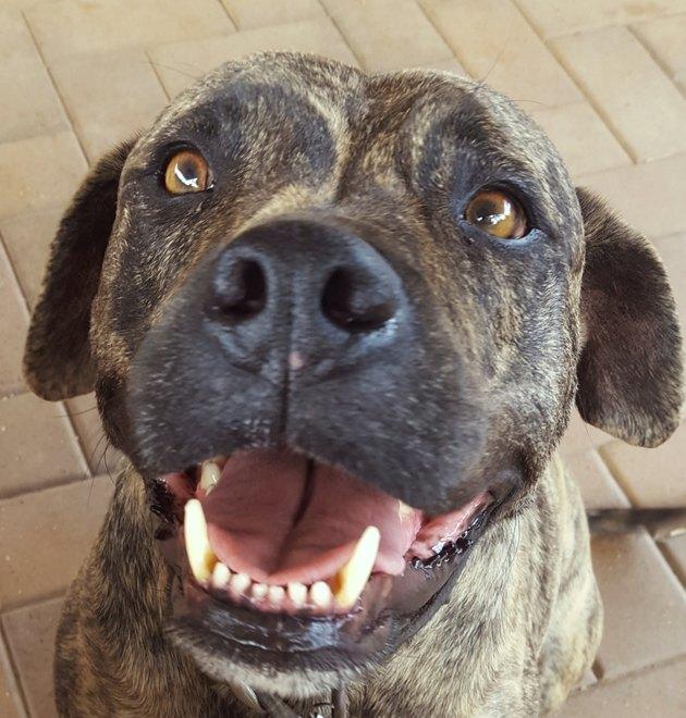 Brindle Staffordshire terrier.