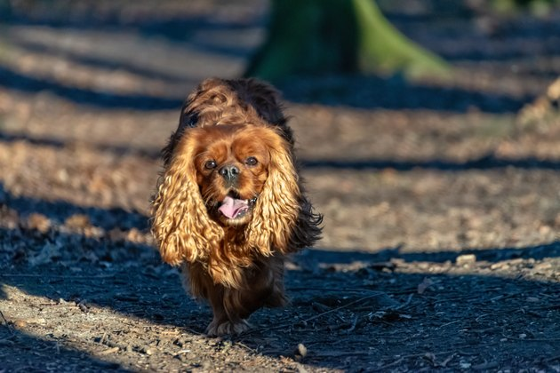 Cavalier King Charles Spaniel dog is having fun in the forest