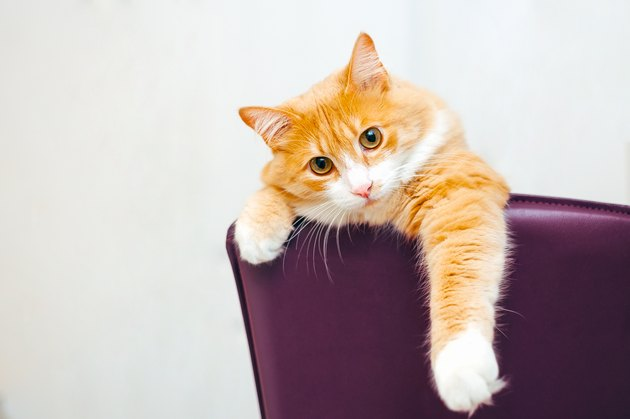 ginger cat at white background stick out his paw from purple chair