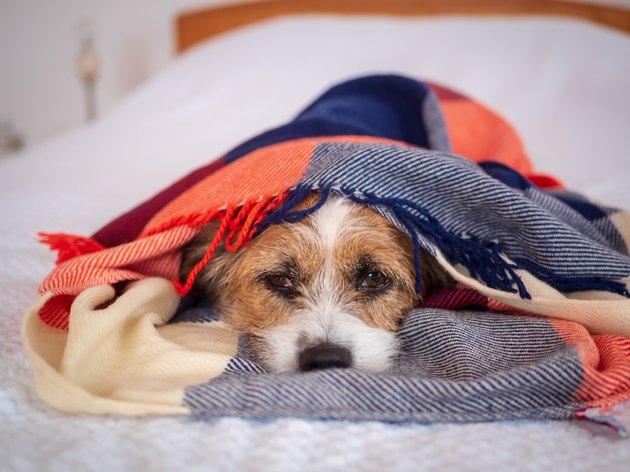 Kleiner Hund in eine karierte Decke gewickelt auf einem Bett im Schlafzimmer