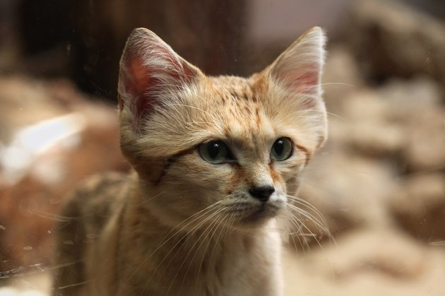 Sand cat (Felis margarita).