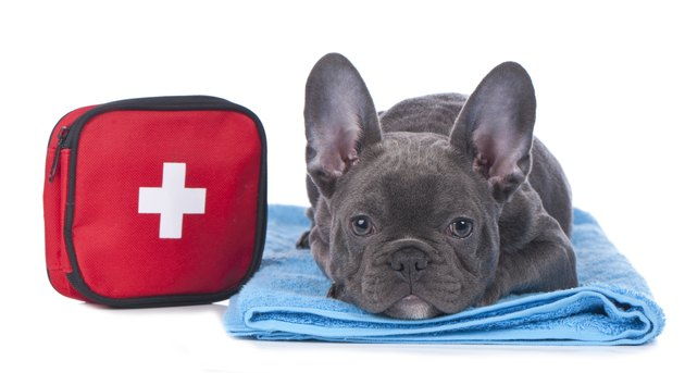 Black French bulldog laying down with first aid kit