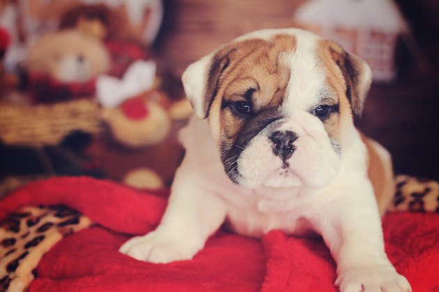 english bulldog puppy christmas