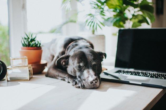 Black Dog in modern office environment