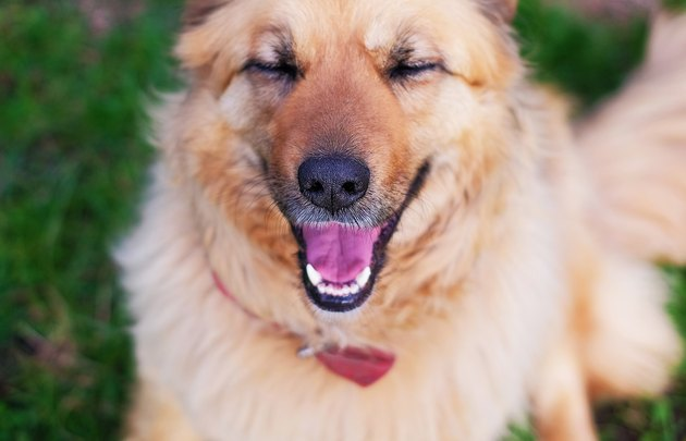 Portrait of a happy beautiful fluffy beige dog with eyes closed outdoors