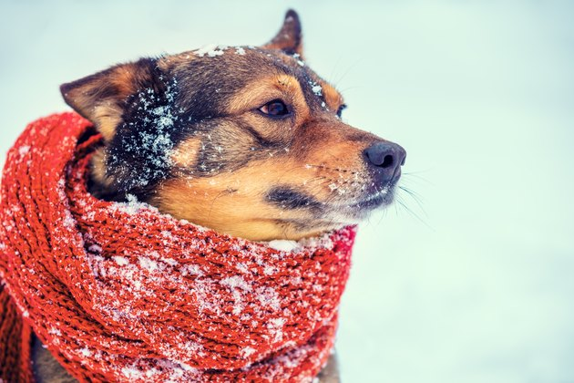 Portrait of a dog with the knitted scarf tied around the neck