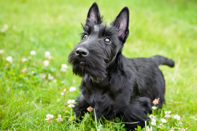 Scottish Terrier having fun on meadow