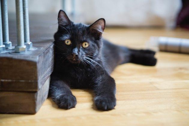 Playful kitten looking at camera at home