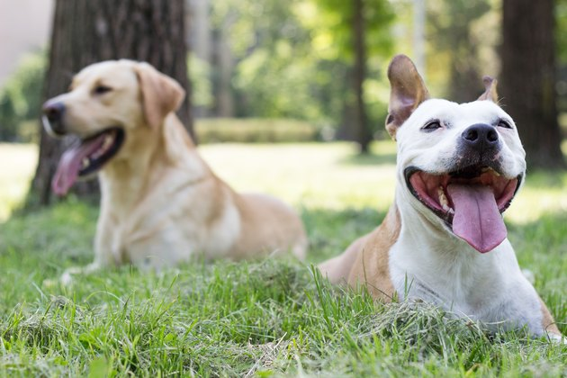 two large dogs lying in the grass smiling with their tongues hanging out.