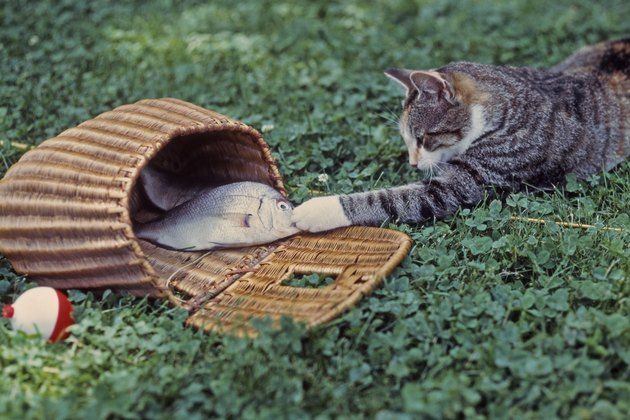 1970s sneaky tabby cat getting a fish out of a basket