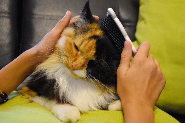 person brushing a black and orange cat