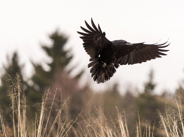 Beautiful Raven [Corvus Corax] in flight over scrubland