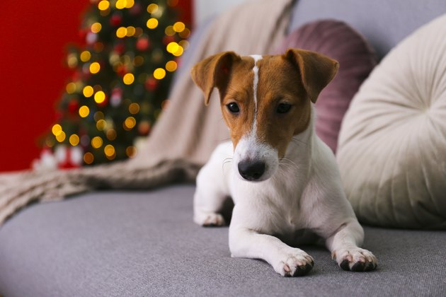 Funny puppy with brown fur stains on face at home with christmas decor.