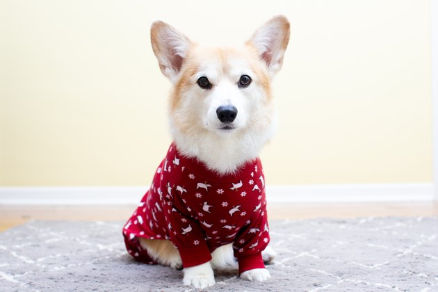 Pembroke Welsh Corgi wearing pajamas