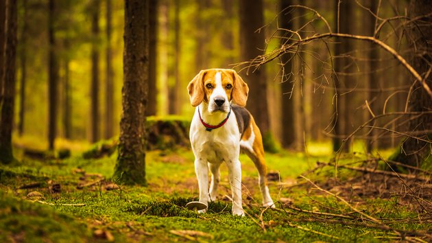 The beagle dog sitting in autumn forest. Portrait with shallow background