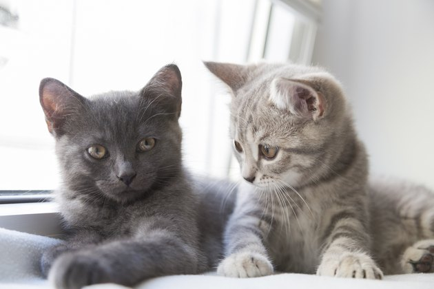 Two cute little British shorthair kittens