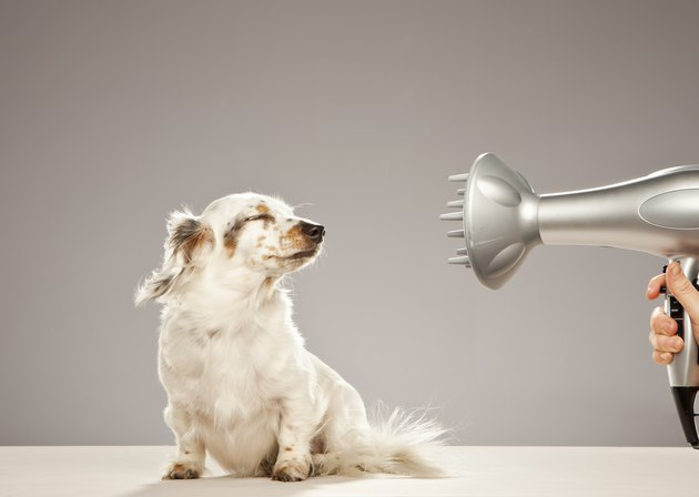 Dog being blown by hairdryer