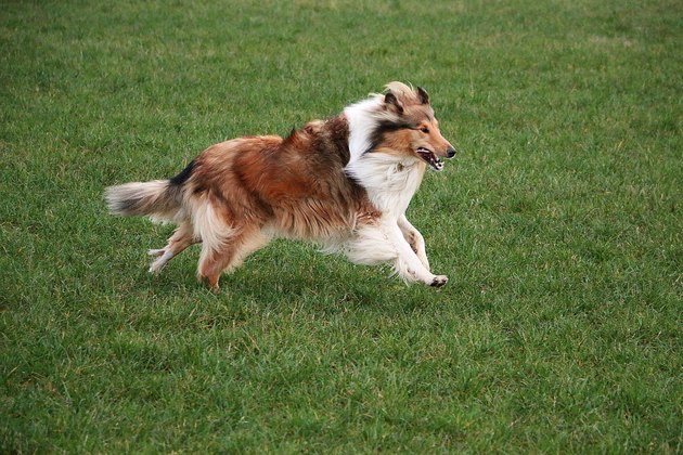 running brown collie