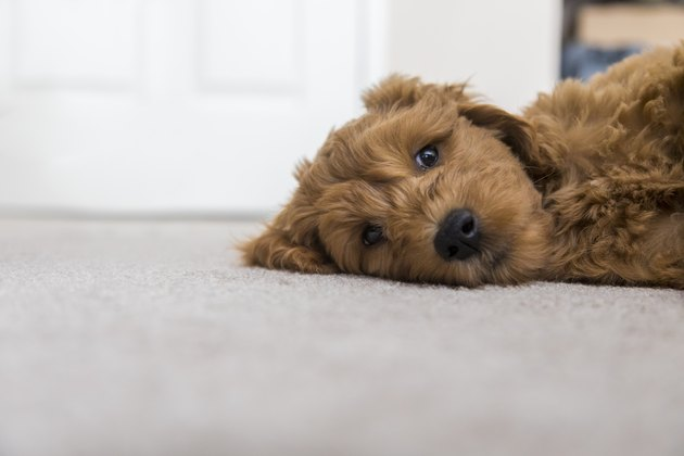 Goldendoodle Puppy at Home