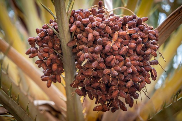 Bunch of dates growing on tree