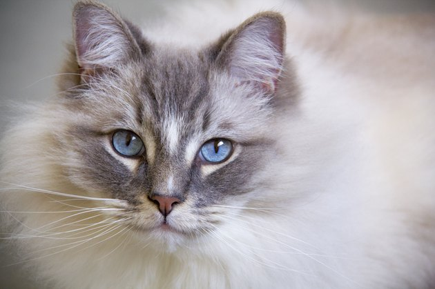 Ragdoll cat with blue eye closeup