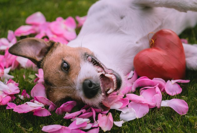 dog laying in rose petals in grass with heart next to him