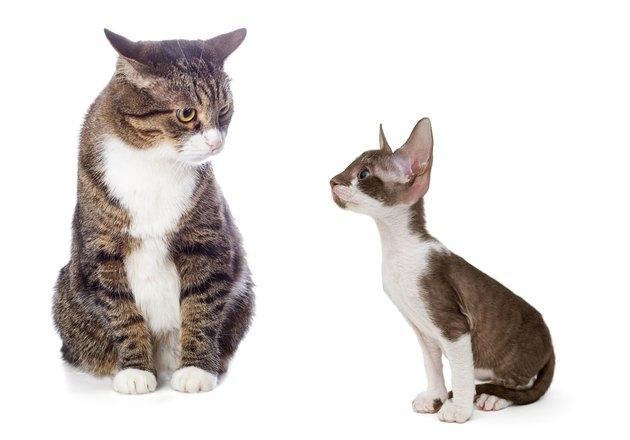 Adult gray cat and kitten Cornish Rex