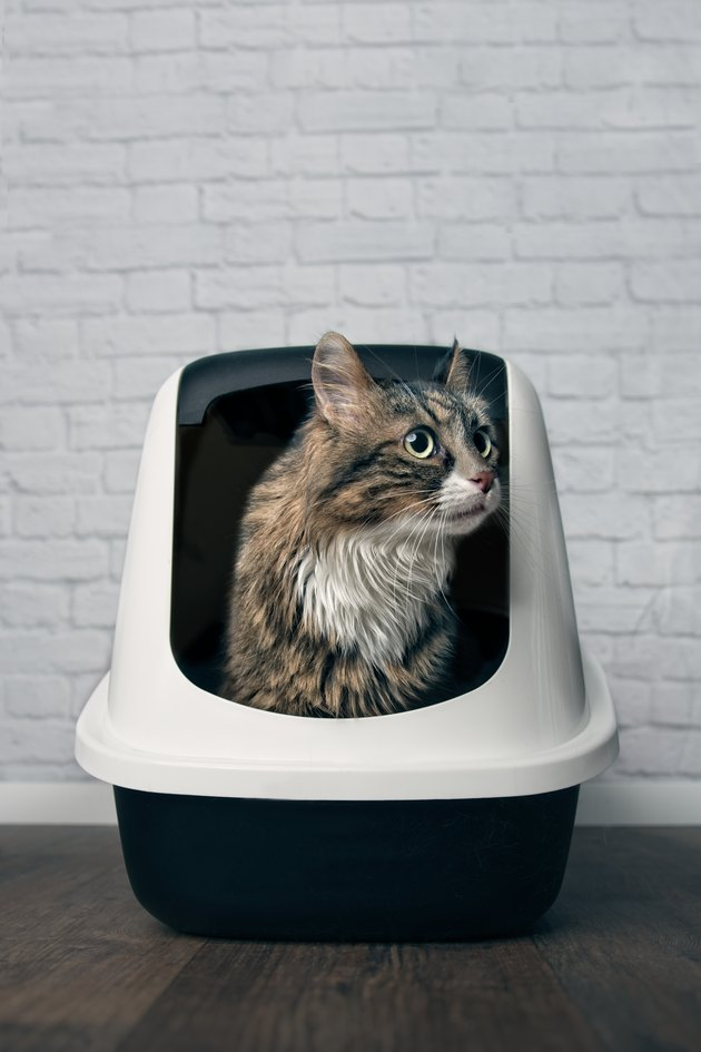 Maine Coon cat sitting in a litter box and looking disinterested sideways.